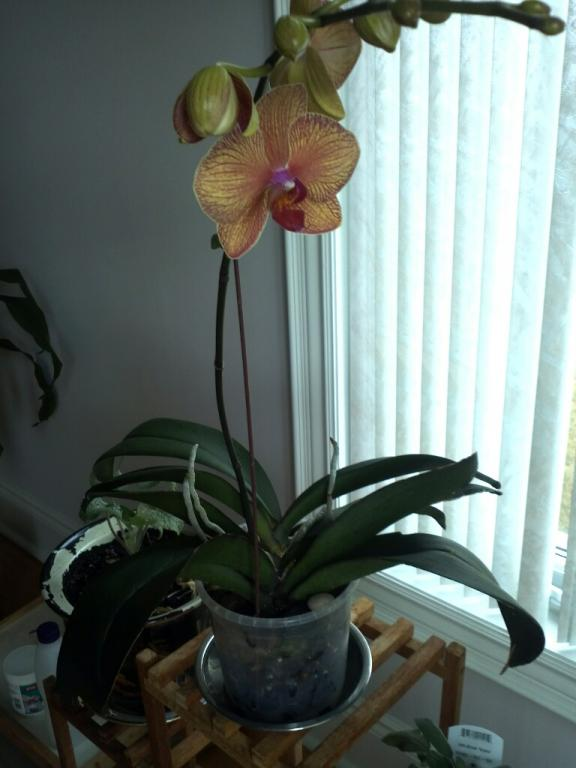 Phalaenopsis leaves turning yellow-img035_edit0-jpg