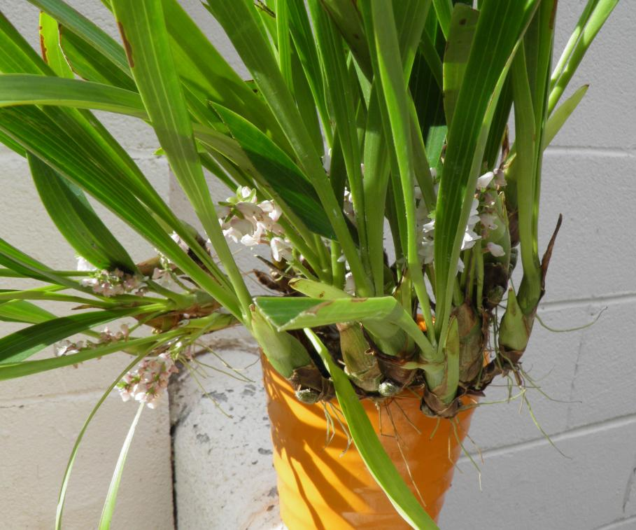 Eria spicata-eria-spicata-1-jpg