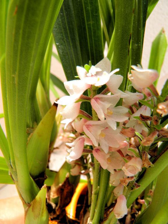 Eria spicata-eria-spicata-2-jpg