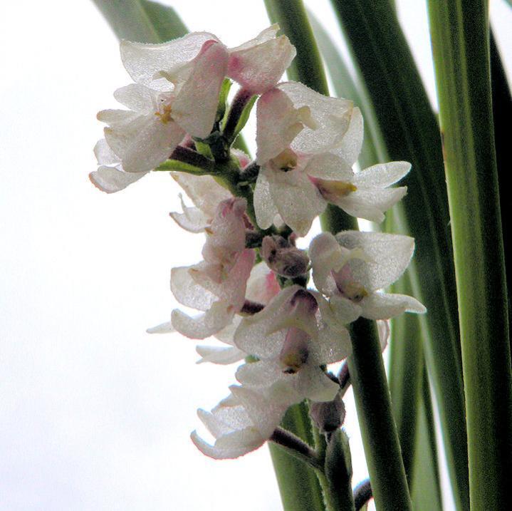 Eria spicata-eria-spicata-3-jpg