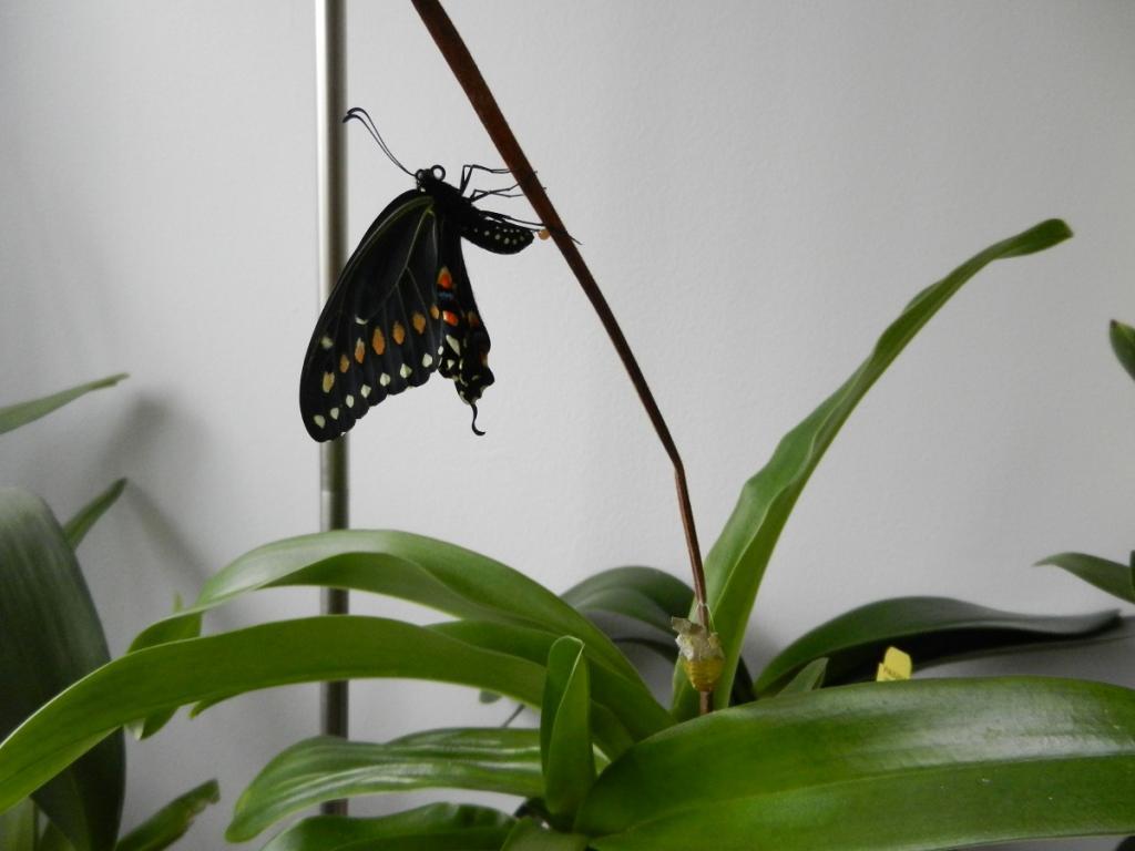 Black Swallowtail Butterfly-dscn3571-jpg