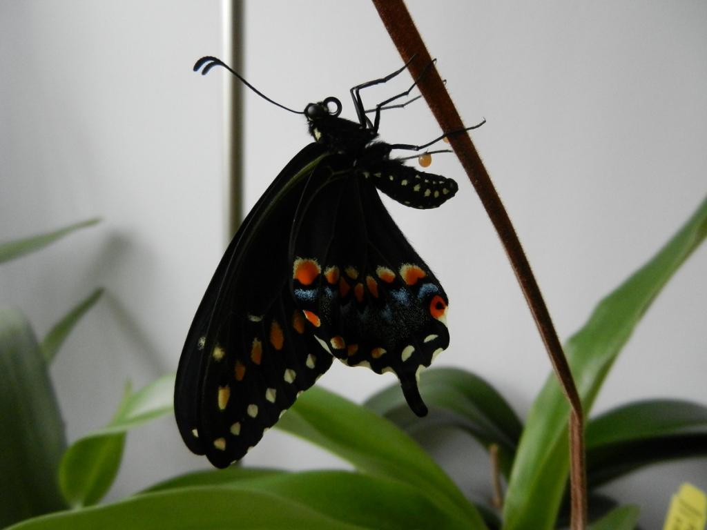 Black Swallowtail Butterfly-dscn3573-jpg