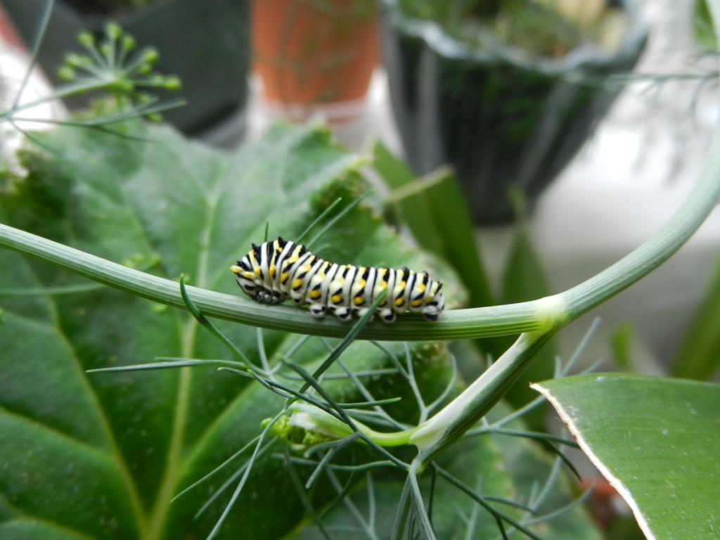 Black Swallowtail Butterfly-dscn3469-jpg