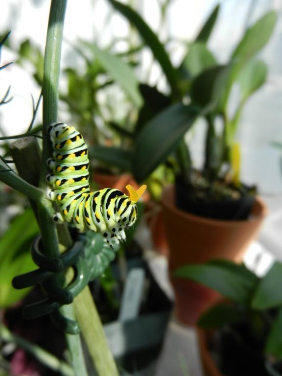 Black Swallowtail Butterfly-dscn3483-jpg