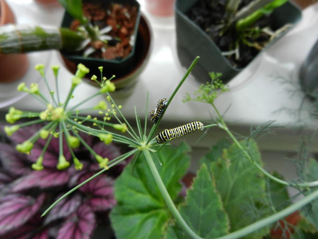 Black Swallowtail Butterfly-dscn3470-jpg