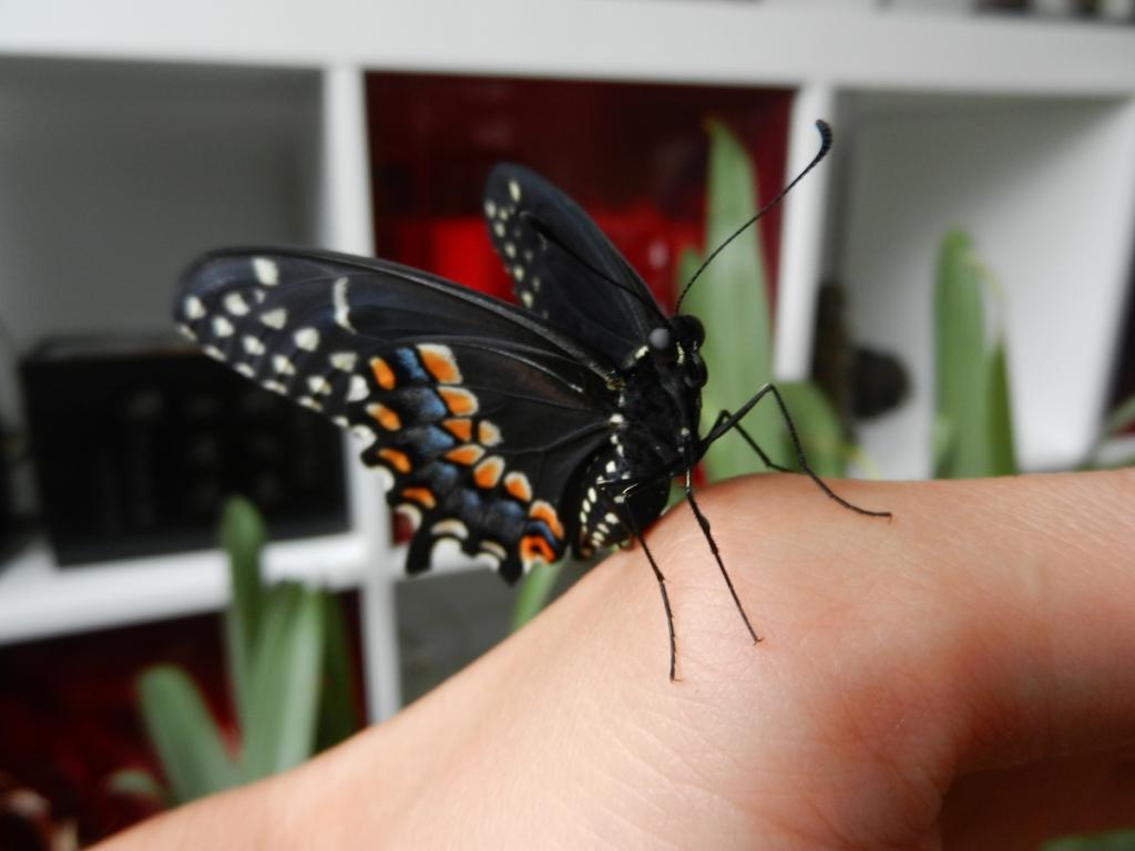 Black Swallowtail Butterfly-dscn3446-jpg