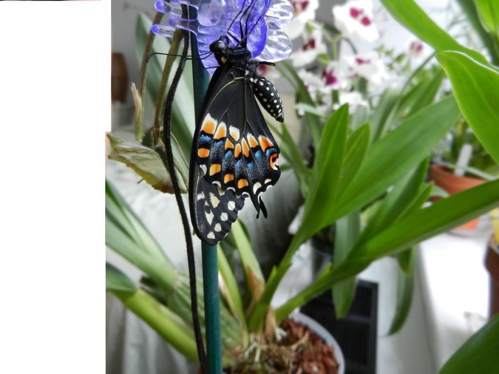 Black Swallowtail Butterfly-dscn3425-jpg