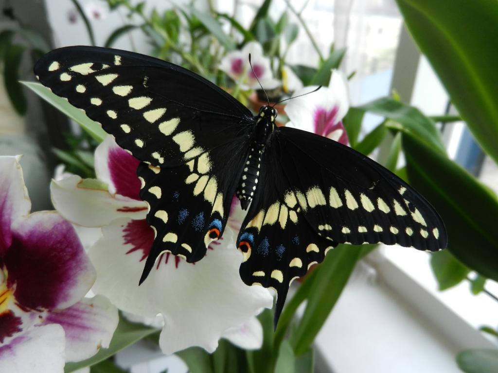 Black Swallowtail Butterfly-dscn3435-jpg
