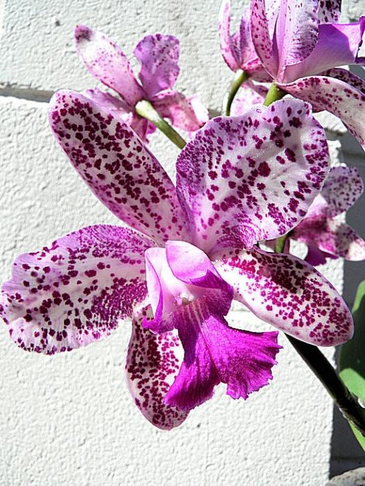 Cattleya Caudebec �Carmela�    HCC/AOS-cattleya-caudebec-carmela-jpg