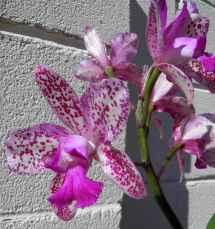 Cattleya Caudebec �Carmela�    HCC/AOS-cattleya-caudebec-carmela-5-jpg