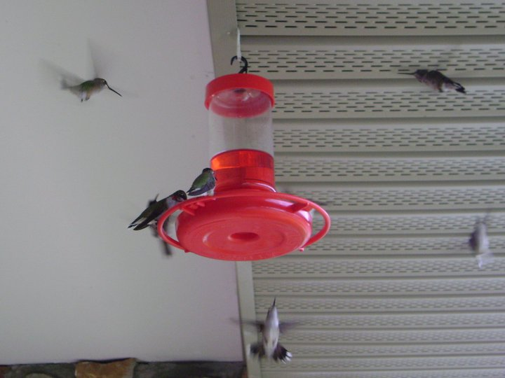 Silly question about hummingbird poop, lol...-34050_137556576263585_100000277297500_328405_3522564_n-jpg