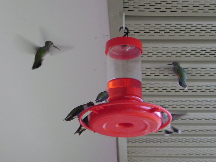 Silly question about hummingbird poop, lol...-34050_137556582930251_100000277297500_328407_6093864_n-jpg