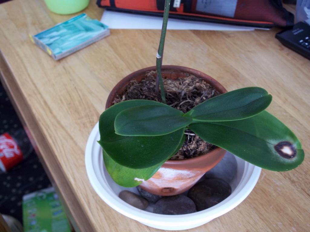 Fungus Gnats or Springtails- HELP-100_0732-jpg