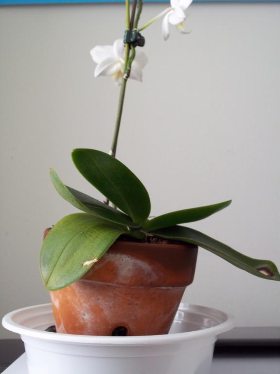 Fungus Gnats or Springtails- HELP-100_0733-jpg