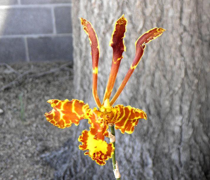 Psychopsis Kalihi-psychopsis-kalihi-2-jpg