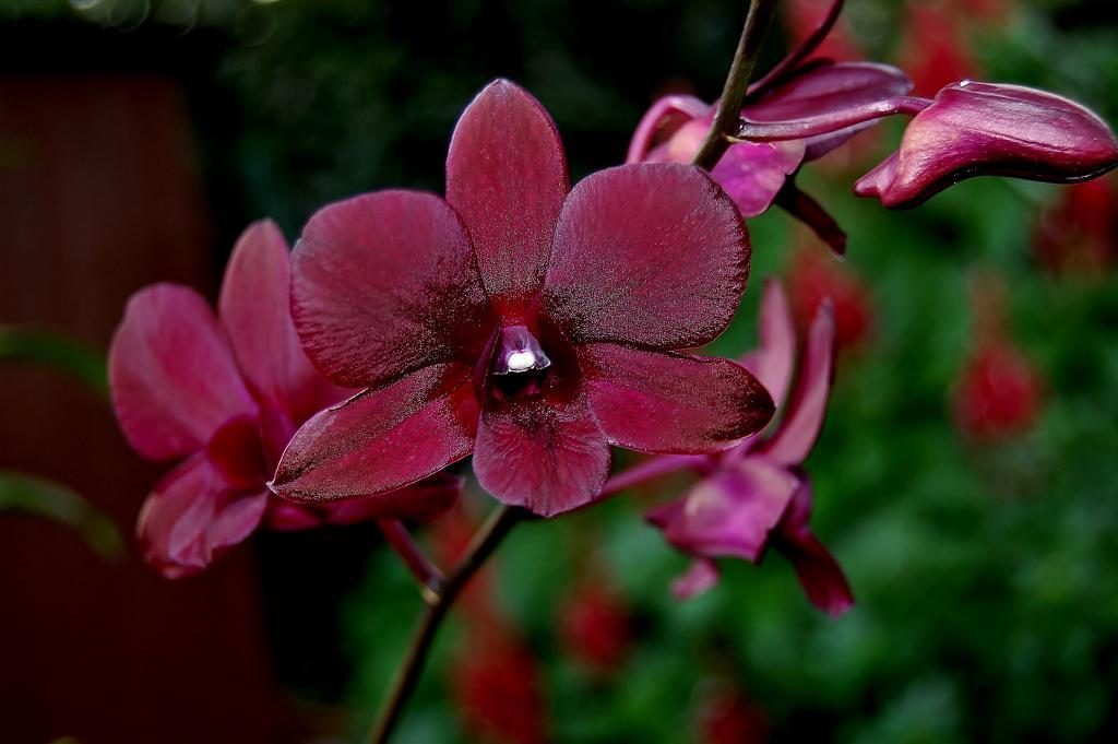 Dendrobium Elegant Midnight-den-elegant-midnight-jpg
