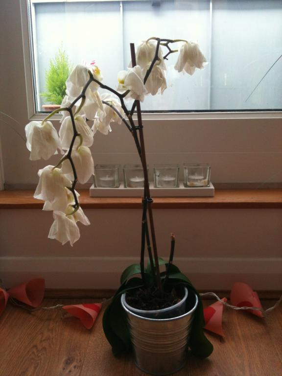 Phalaenopsis damaged and looks like dying but won't drop the flowers-orchid-jpg