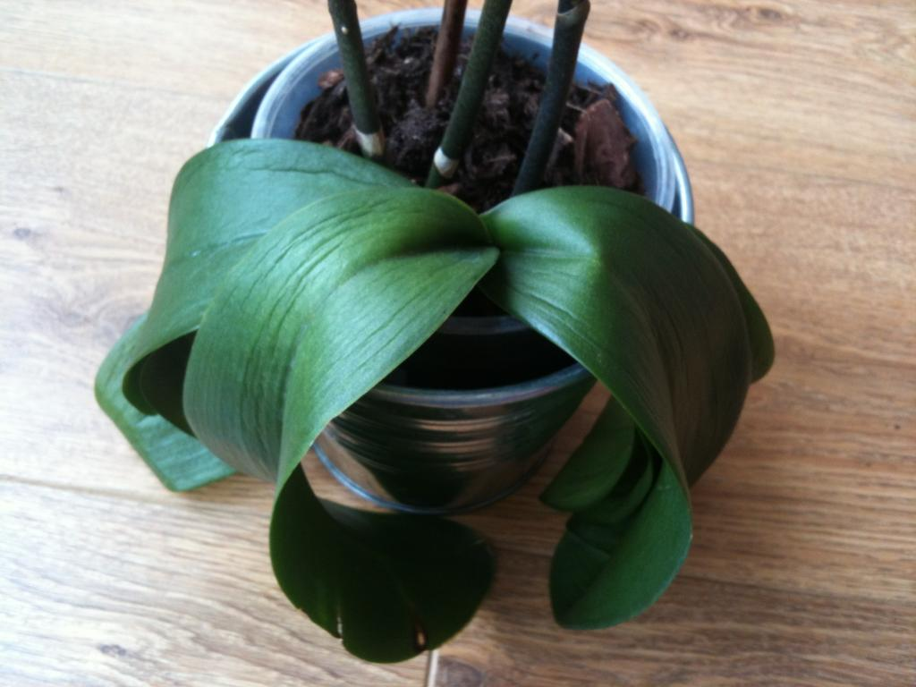 Phalaenopsis damaged and looks like dying but won't drop the flowers-orchid-leaves-jpg