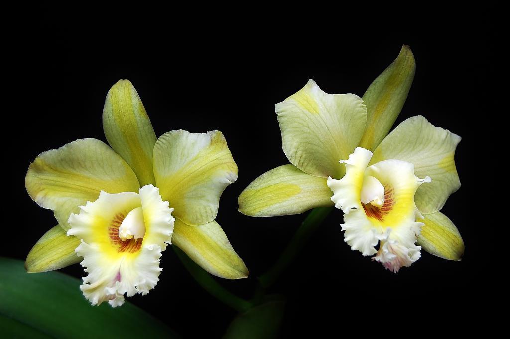 Some Recent Blooms-blc-majestic-light-hidden-treasure-2-jpg