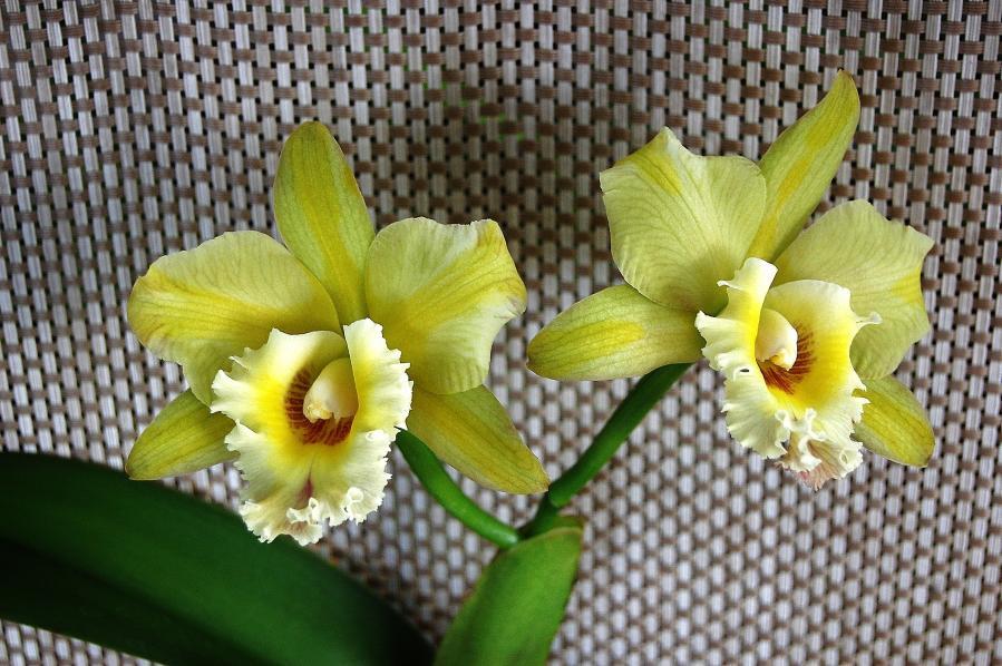 Some Recent Blooms-blc-majestic-light-hidden-treasure-jpg