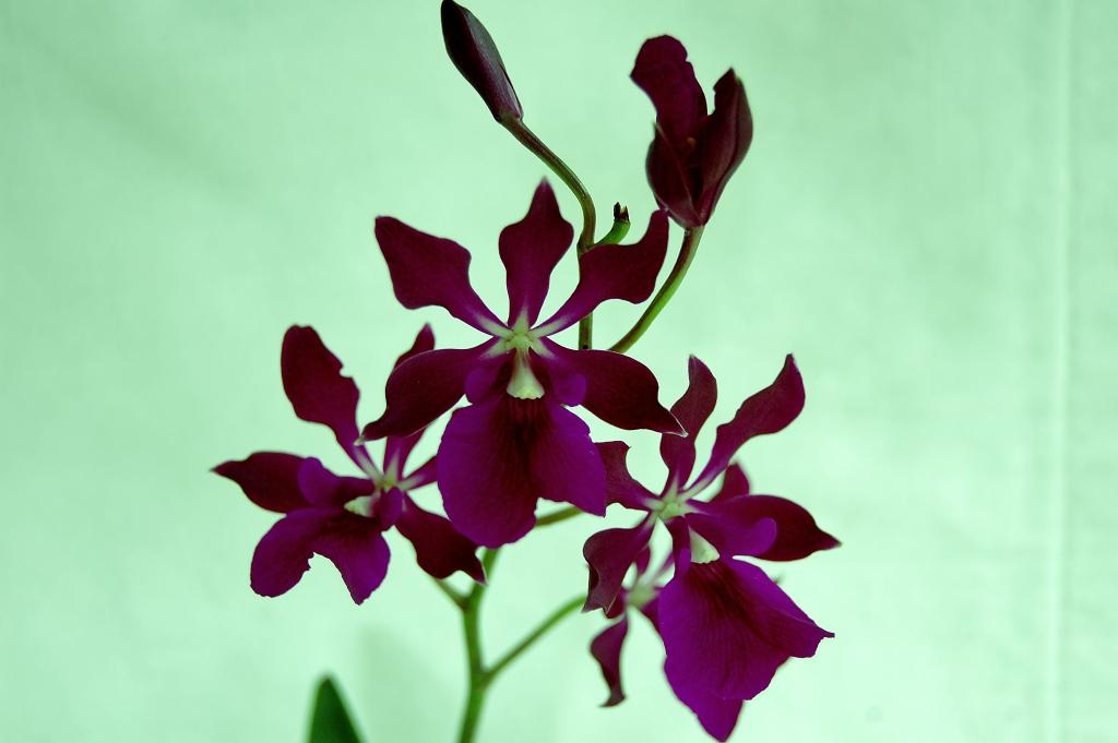 Some Recent Blooms-enc-joseph-romans-cordigera-3-jpg