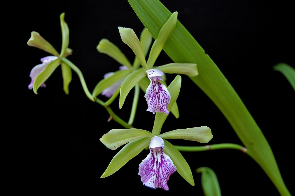 Some Recent Blooms-encyvola-surprise-jpg