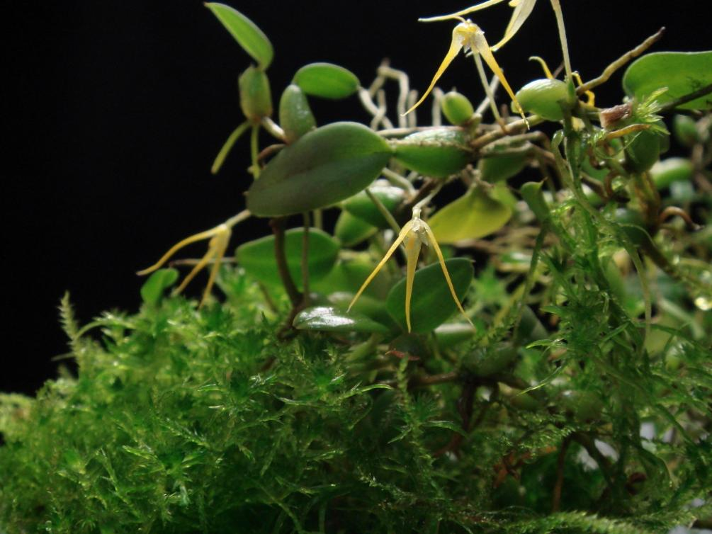 """Bulbophyllum sp. """"Rosary beads""""-2012-10-20-001-2012-10-20-005-1024x768-jpg"""