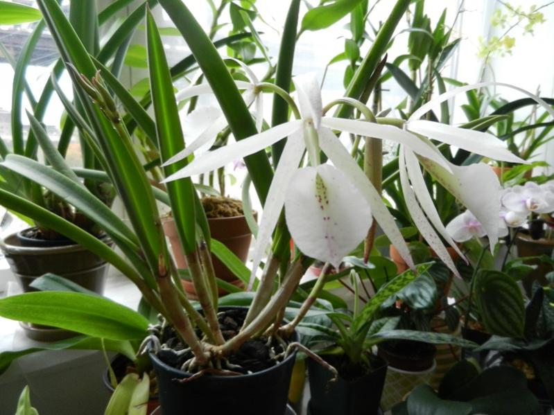 Brassavola hybrid in Bloom-dscn4293-jpg