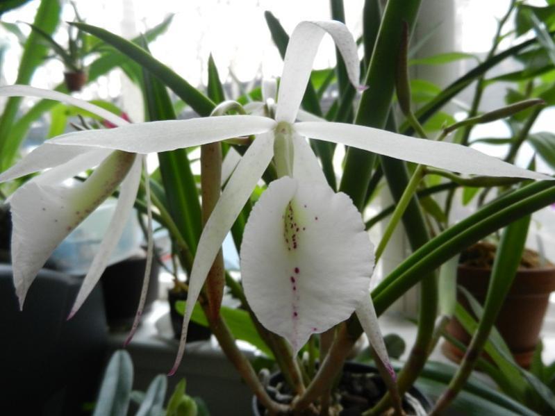 Brassavola hybrid in Bloom-dscn4294-jpg