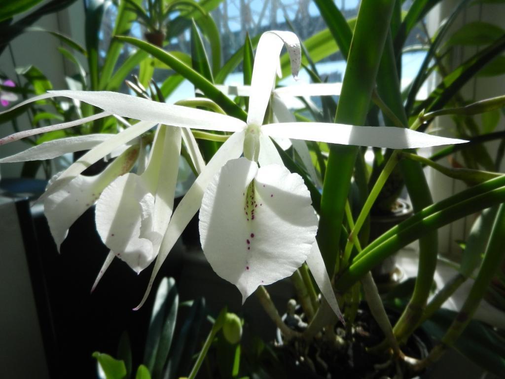 Brassavola hybrid in Bloom-dscn4296-jpg