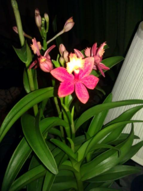 Lost with new reedstem Epidendrum purchase!-imag1717-jpg