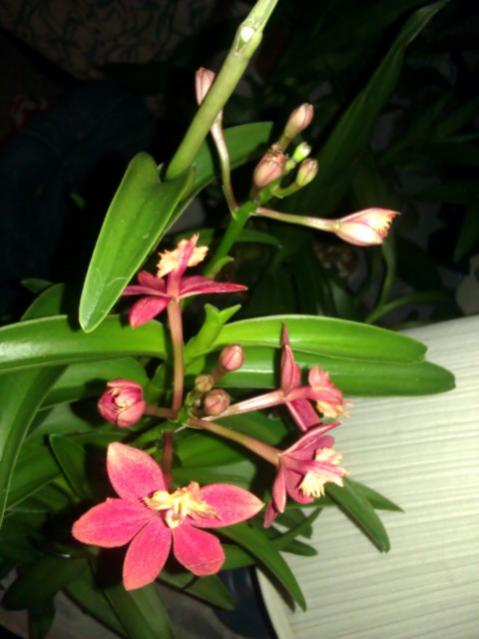 Lost with new reedstem Epidendrum purchase!-imag1716-jpg
