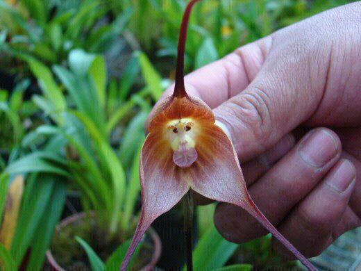 Where can I buy a Monkey Orchid??-monkey-orchid1-jpg