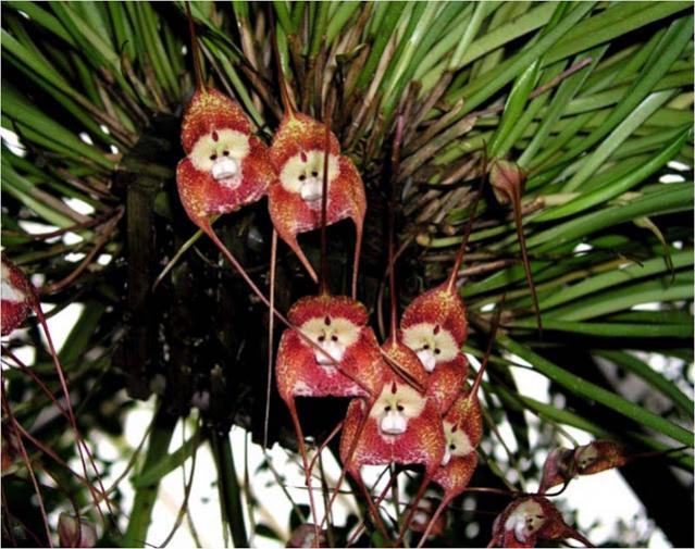 Where can I buy a Monkey Orchid??-monkey-orchid2-jpg