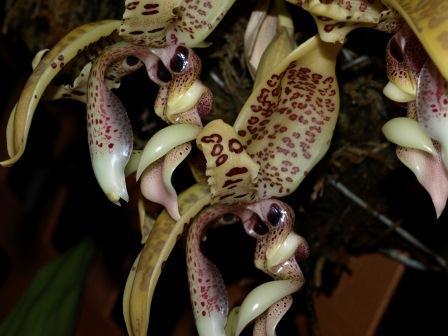 Stanhopea costaricensis-s_costaricensis_8-jpg