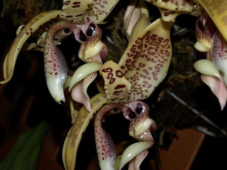 Stanhopea costaricensis-s_costaricensis_8-jpg