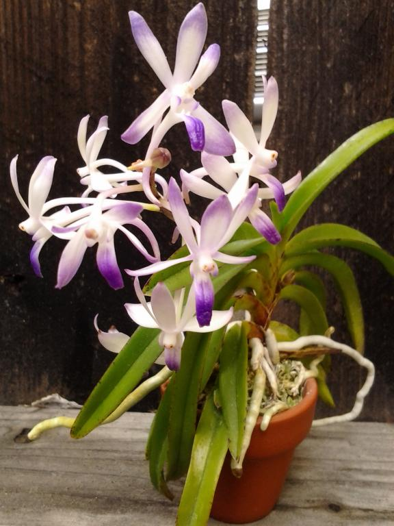 Neostylis Lou Sneary 'Bluebirds' - Happy at last!-img_20121117_134515-jpg