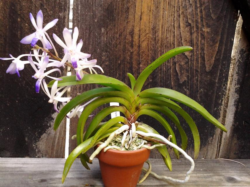 Neostylis Lou Sneary 'Bluebirds' - Happy at last!-img_20121117_134140-jpg