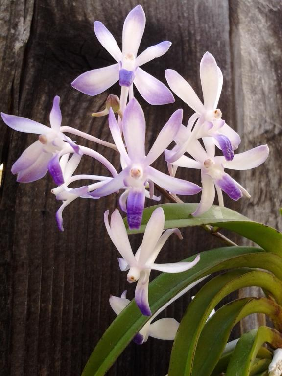Neostylis Lou Sneary 'Bluebirds' - Happy at last!-img_20121117_134015-jpg