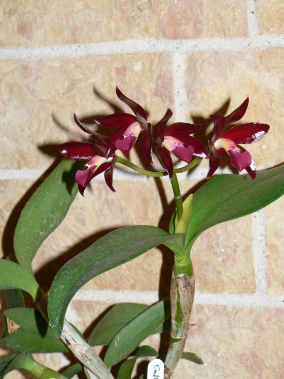 "Cattleya Chocolate Drop ""Volcano Queen""-p1110115-jpg"