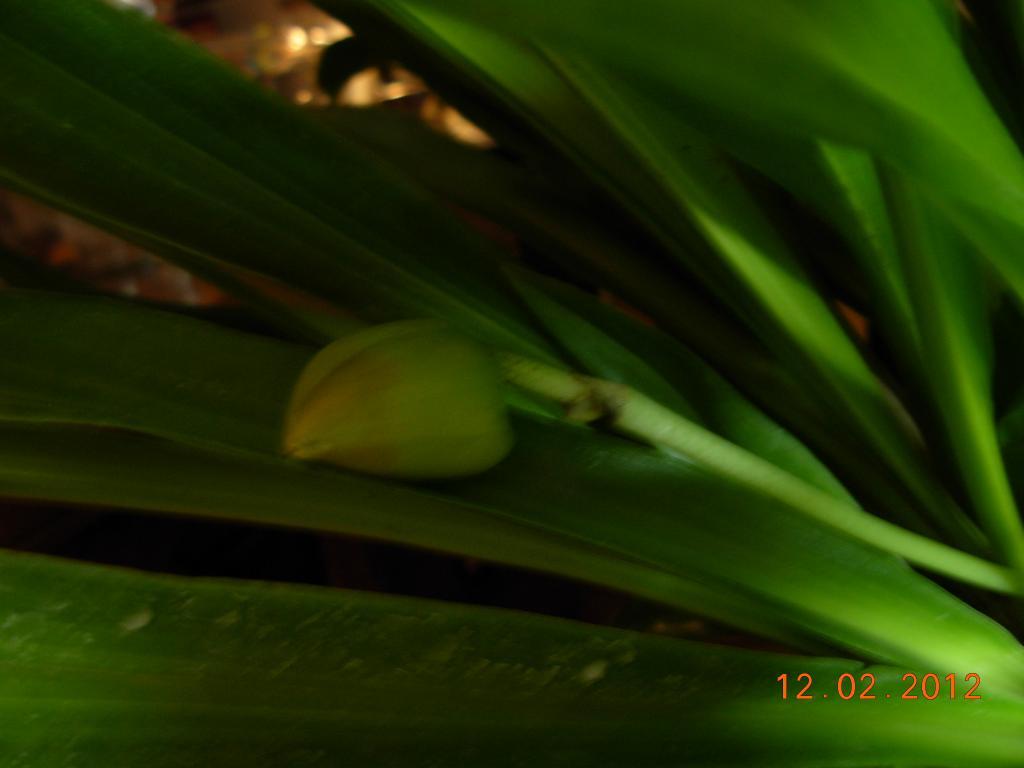Pescatorea wallisii in bloom-pescatorea-3-002-jpg