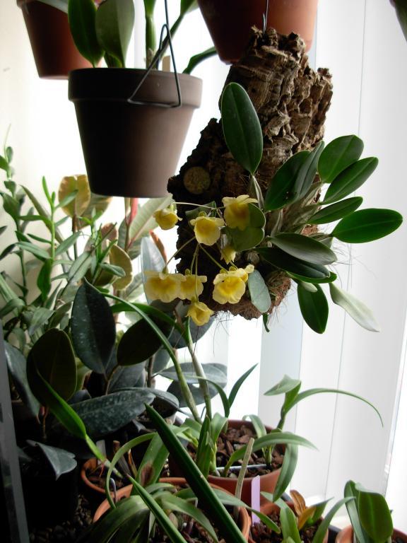 Dendrobium aggregatum, lindleyi variation in bloom-dendrobium-aggregatum-jenkinsii-jpg
