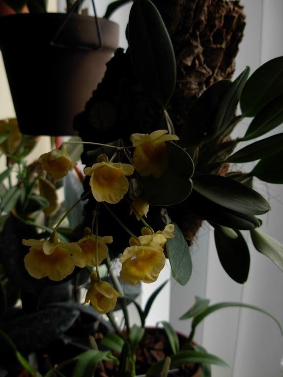 Dendrobium aggregatum, lindleyi variation in bloom-dendrobium-aggregatum-jenkensii-2-jpg