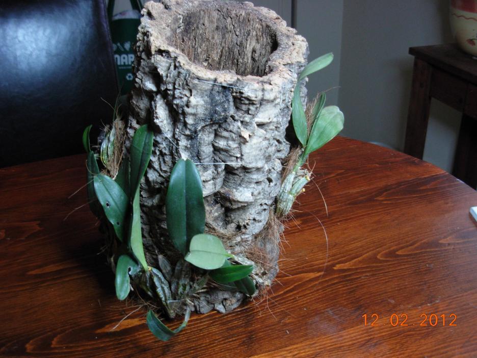 Dendrobium aggregatum, lindleyi variation in bloom-den-mount-002-jpg