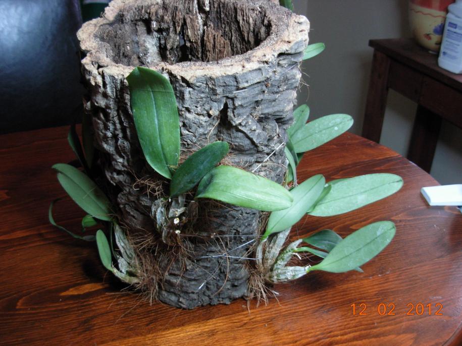 Dendrobium aggregatum, lindleyi variation in bloom-den-mount-003-jpg