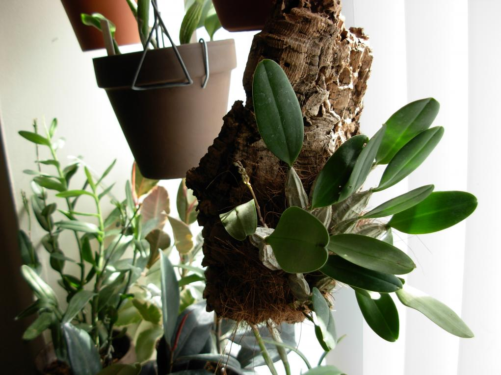 Dendrobium aggregatum, lindleyi variation in bloom-dscn0270-jpg