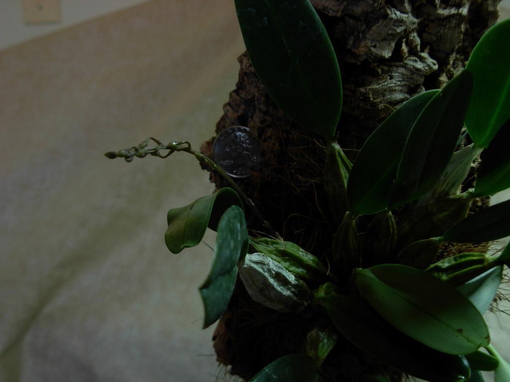 Dendrobium aggregatum, lindleyi variation in bloom-dscn0280-jpg