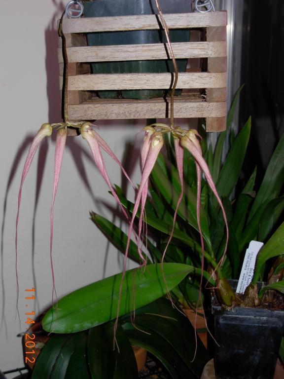 Bulbophyllum Hybrid in bloom-bulbo-melting-sw-longissimum-windy-hill-jpg