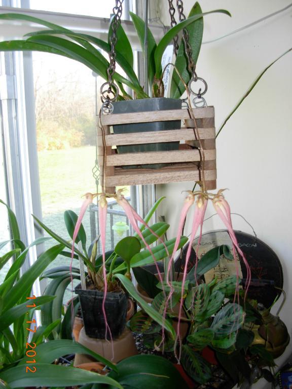 Bulbophyllum Hybrid in bloom-orchid-jpg