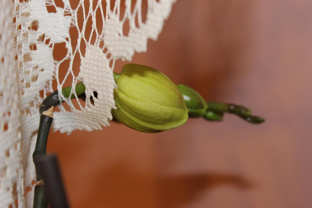 Orchid Thru the curtain-img_0899-jpg